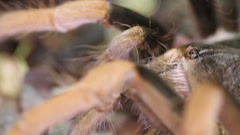 Columbian Giant Red-leg Tarantula (Megaphobema robustum) - stock footage