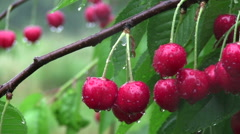 Close up of ripe red cherries Stock Footage