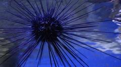 Diadema savignyl Stock Footage