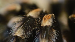 Close-up leg Mexican Redknee Tarantula (Brachypelma smithi) Stock Footage