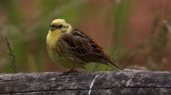 Yellowhammer (Emberiza citrinella) singing on a tree Stock Footage