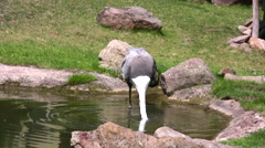 Wattled Crane dipping its beak in a pond Stock Footage