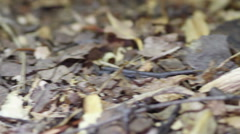 Columbian Giant Red-leg Tarantula (Megaphobema robustum) Stock Footage