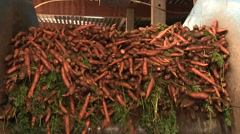 a lot of carrots, carrots on the conveyor belt  - stock footage
