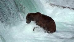 Brown Bear Below Falls Is Excited At Close Chances at Catching Fish Stock Footage