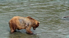 Brown Bear Retrieves Salmon And Starts to Eat But Then Is Startled Stock Footage