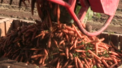 carrot harvest, industrial carrot production in a factory - stock footage