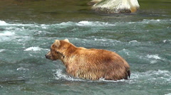 Alaskan Brown Bear Rushes and Dives at a Salmon. Stock Footage