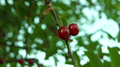 Cherries Picked  Directly From The Tree Stock Footage