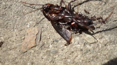Ants Carry Dead Beetle, Macro Stock Footage
