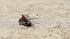 Ants Moving Dead Beetle Stock Footage