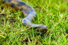 Green anaconda (Eunectes murinus) - stock photo