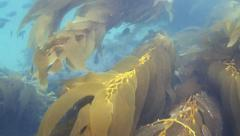 Reveal of many fish riding in current Stock Footage