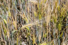 Barley ears. Hordeum vulgare - stock photo