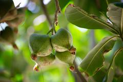 Stock Photo of Fruits Barringtonia (Barringtonia asiatica) or Sea Poison Tree