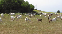 Goats Grazing In Foothills - stock footage