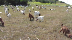 Goats Clear Brush On Hillside Stock Footage