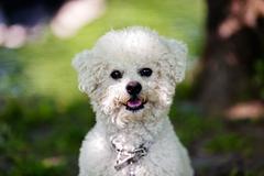 bichon in the park - stock photo