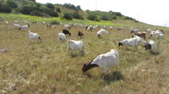 Goats Clear Brush On Hillside - stock footage