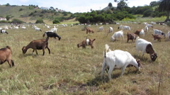 Goats Clearing Brush - stock footage