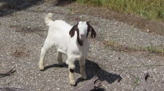Cute Baby Goat Stock Footage