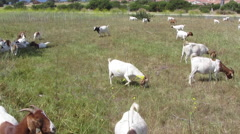 Goats Grazing In Field Stock Footage