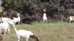 Goats Clearing Brush Stock Footage