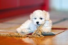 bichon frise puppy - stock photo