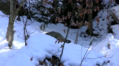 4K footage of a Wildcat in the Bayerischer Wald National Park, Germany Stock Footage