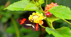 4K Black and Red Butterfly on Tropical Flower Arkistovideo