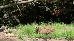 Mongoose playing and eating Stock Footage