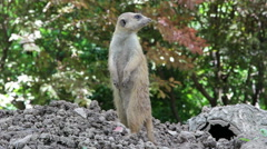 Mongoose standing sentry Stock Footage