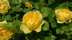 Roses, yellow springtime flower blooming Stock Footage