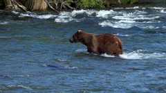 Scarred Up Brown Bear Boar Makes Younger Bear Leave Fishing Spot Stock Footage