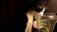 Close up of cat drinking out of fish bowl Stock Footage