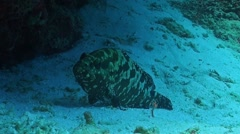 Hexagon Grouper on a sandy slope Stock Footage