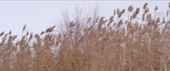 Cane field 4k Stock Footage