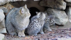 4K footage of a Wildcat (Felis silvestris) mother with her kittens Stock Footage