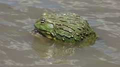 African giant bullfrogs mating in shallow water, South Africa Stock Footage