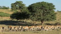Springbok antelopes at waterhole, Kalahari desert, South Africa Stock Footage
