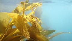 Swimming past kelp beds in slow motion Stock Footage