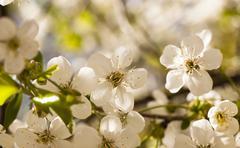 Apple-tree Stock Photos