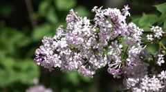 Lilac flowering close-up Stock Footage