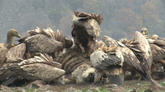 Large group of Griffon Vultures eating carcass in the mountain range Stock Footage