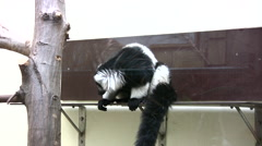 White belted ruffed lemurs in an enclosure - stock footage