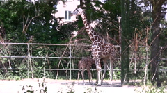 Giraffe standing in an enclosure long shot - stock footage