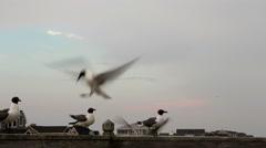 Sea gulls on deck railing flying frenzy Stock Footage