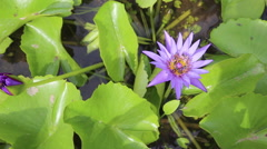 Lotus and Bee on the pond.Bee in Lotus Flower, video hd Stock Footage