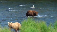 Approaching Larger Boar Intimidates Two Smaller Brown Bears Who Leave - stock footage