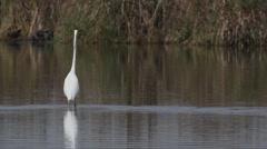 Great egret,  large egret,  great white heron, Ardea alba, Casmerodius albus, Stock Footage
